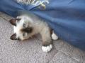 Kitten, Cattery von der Harburg, Hobby-Birmazucht